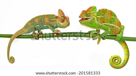 happy chameleons - stock photo