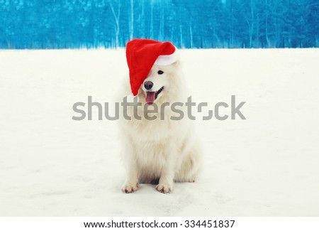 Happy cheerful white Samoyed dog wearing a red santa hat on snow in winter day - stock photo