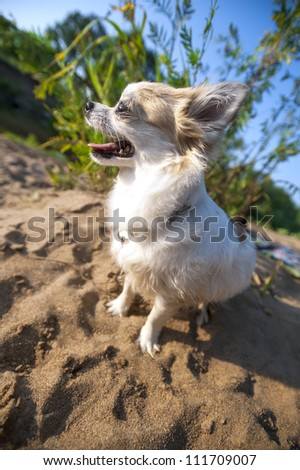 happy Chihuahua dog close-up on  solar summer landscape background with beach sand and blue sky - stock photo