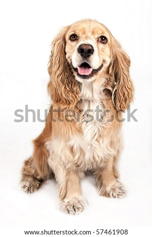 Happy Cocker Spaniel dog isolated on white - stock photo