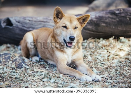 Happy Dingo in Australla - stock photo