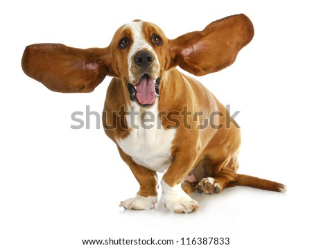 happy dog - basset hound with ears up - stock photo