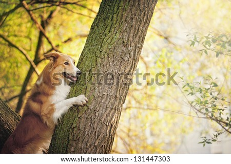 happy dog border collie portrait at the tree in summer - stock photo