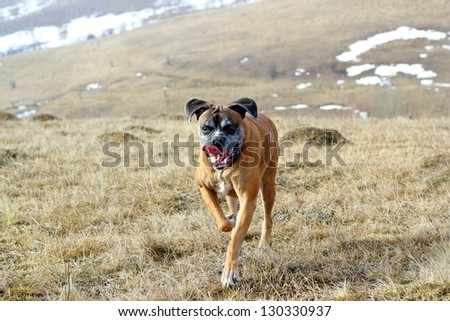 happy dog ( boxer breed ) running in the field - stock photo