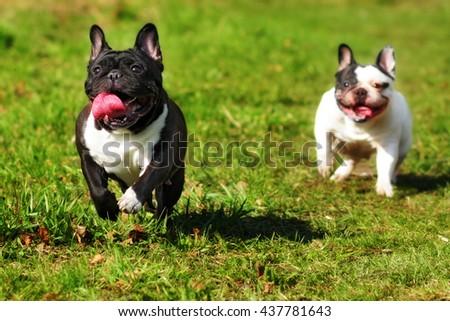 happy dog breed the French bulldog running around in the summer sun - stock photo
