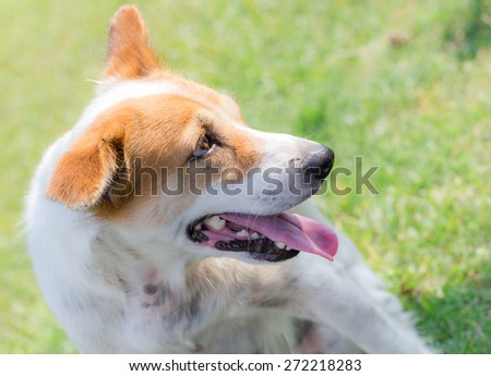 happy dog is smiling with a nicely green grass background - stock photo