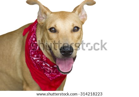 Happy dog isolated is a big happy dog with a red bandana looking right at you - stock photo