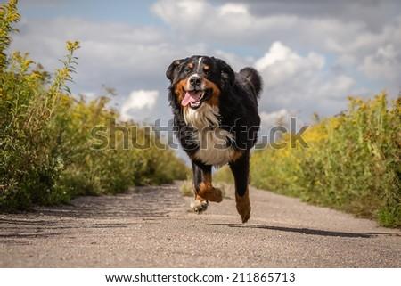 happy dog jumping running at summer road - stock photo