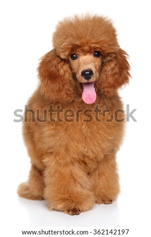 Happy dog. Miniature Poodle puppy sits in front of white background - stock photo