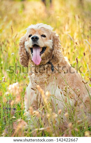 Happy dog of cocker spaniel breed on the meadow - stock photo