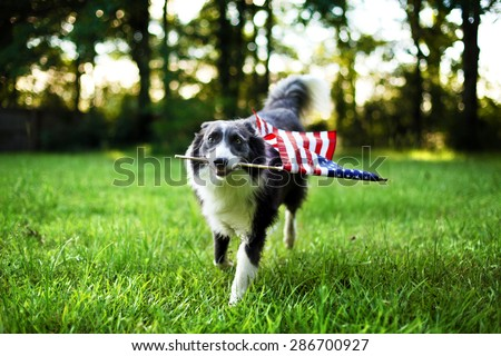 Happy dog playing outside and carrying the American flag - stock photo