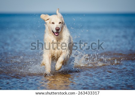 happy dog running in the water - stock photo