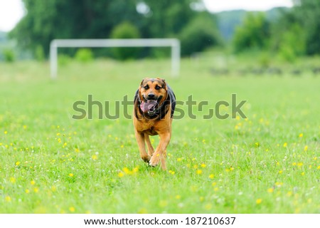 Happy dog running through a meadow - stock photo