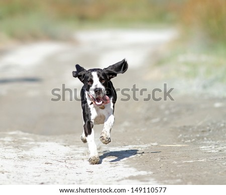 happy dog running towards the camera on a sandy road - stock photo