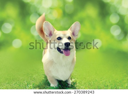 Happy dog Welsh Corgi Pembroke on the grass in sunny summer day, toned colors - stock photo