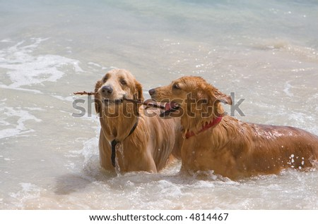 happy dogs playing in the ocean - stock photo