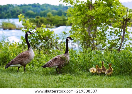 Happy duck family  with three baby bird with Niagara falls behind - stock photo