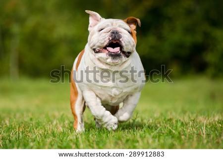 happy english bulldog dog running on grass - stock photo