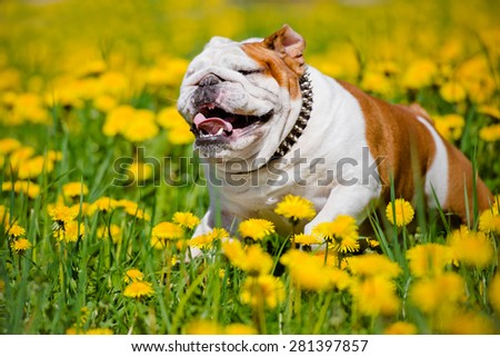 happy english bulldog running on a dandelions field - stock photo
