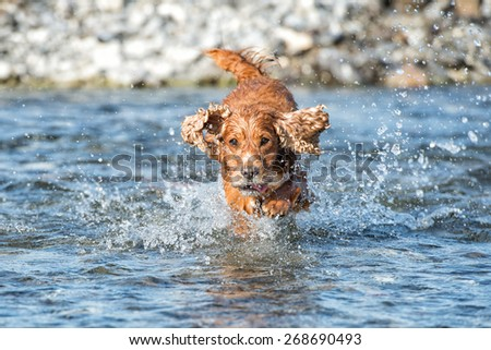 Happy english cocker spaniel while playing in the river - stock photo