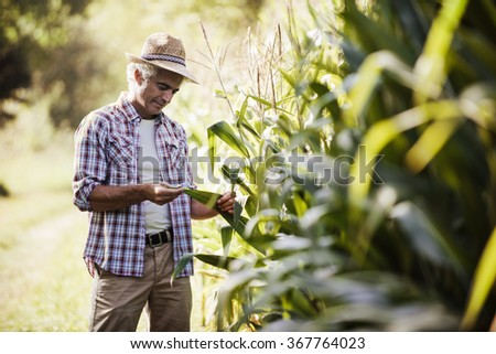 Happy farmer in the field checking corn plants during a sunny summer day, agriculture and food production concept - stock photo