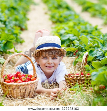 Happy funny little kid boy picking and eating strawberries on organic bio berry farm in summer, on warm sunny day. Harvest fields in Europe. Healthy food for children. - stock photo
