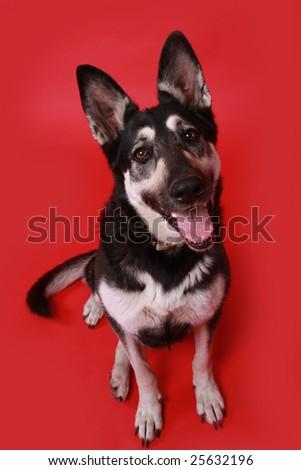 Happy German Shepherd dog on red background. - stock photo