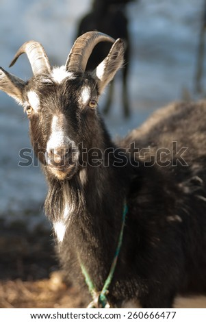 happy goat on grey background - stock photo