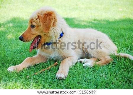 happy golden dog puppy - stock photo