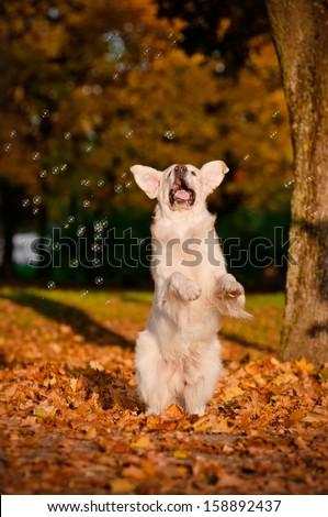 happy golden retriever dog catching soap bubbles - stock photo