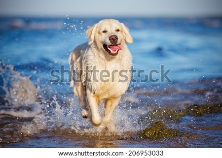 happy golden retriever dog running in water - stock photo
