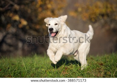 happy golden retriever dog running outdoors - stock photo