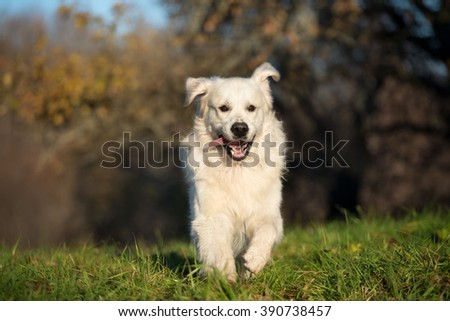 happy golden retriever dog running outdoors in spring - stock photo