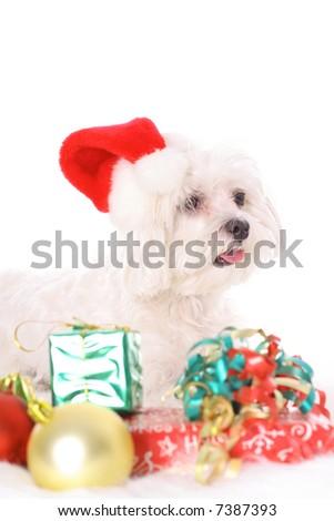 Happy holidays maltese - stock photo