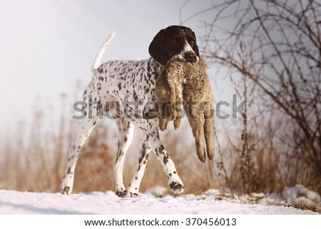 happy hunting dog breed Auvergne pointing dog carries and runs on a snowy dirt road in its mouth and holding a field hare - stock photo