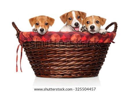 Happy Jack Russell puppies in wicker basket on a white background - stock photo