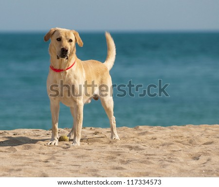 Happy Labrador Retriever playing at the beach - stock photo