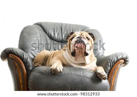 Happy lazy dog English Bulldog on a leather armchair sofa - stock photo