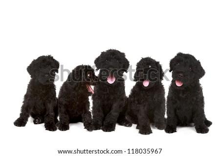 Happy Litter of Black Russian Terrier Puppies - stock photo