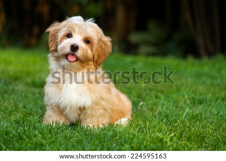 Happy little orange havanese puppy dog is sitting in the grass - stock photo