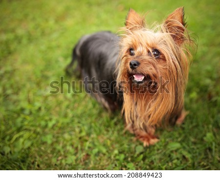 happy little yorkshire terrier puppy dog panting in the grass - stock photo