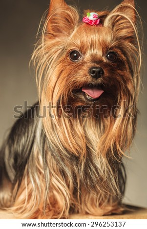 happy little yorkshire terrier puppy dog with mouth open and tongue exposed looking at the camera  - stock photo