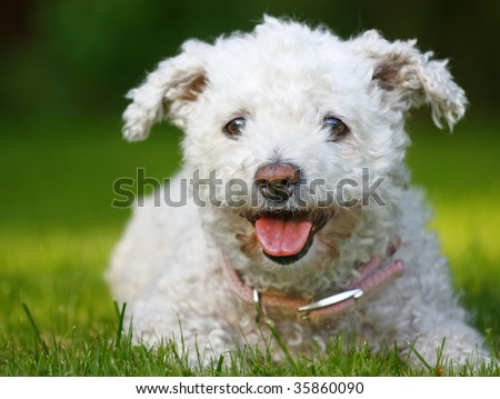 Happy looking Bichon Frise dog lying in grass - stock photo