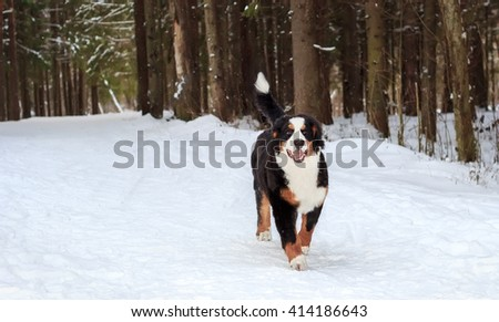 Happy mountain dog ran across the snow-covered road. - stock photo