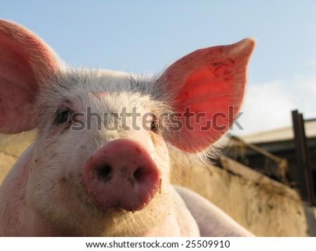 Happy pig on pig farm - stock photo