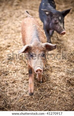 happy piggies - stock photo