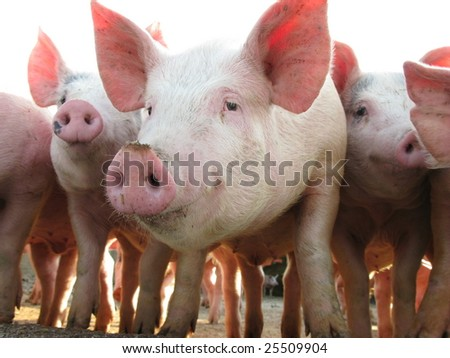 Happy pigs on pig farm - stock photo