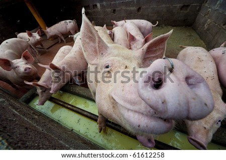 Happy pigs on pig farm - stock photo