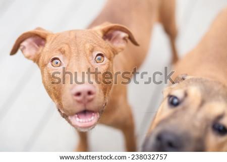 Happy puppy smiles at camera, second puppy photo bombs the camera - stock photo