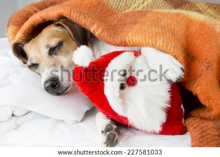 happy relaxed dog sleeps hugging a toy Santa Claus. The cozy under a blanket on the pillow. In anticipation of the holiday - stock photo